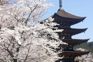 瑠璃光寺 桜